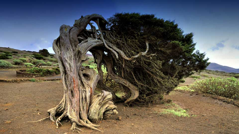 Gnarled Juniper Trees in El Sabinar