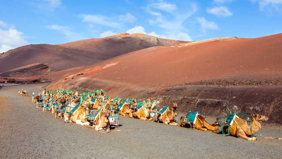 Camels at Timanfaya Park