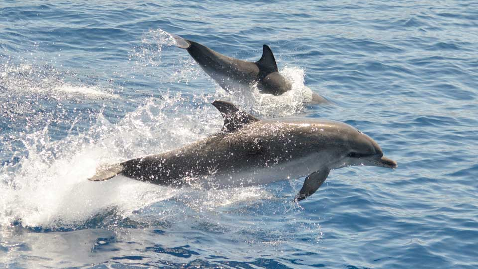 Dolphins in La Palma