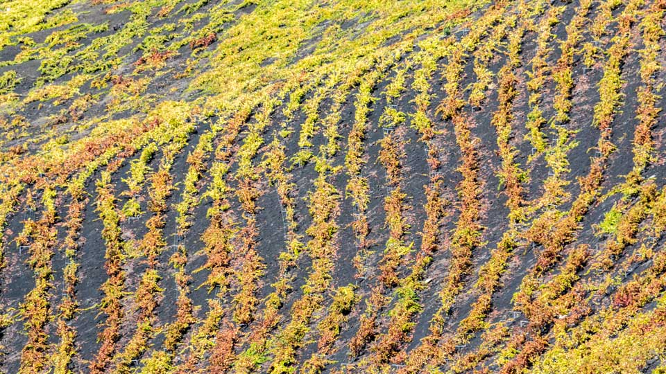 Vineyards Fuencaliente La Palma