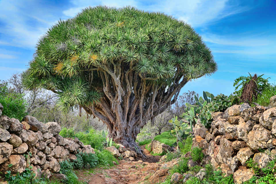 Las Tricias Dragon Tree La Palma