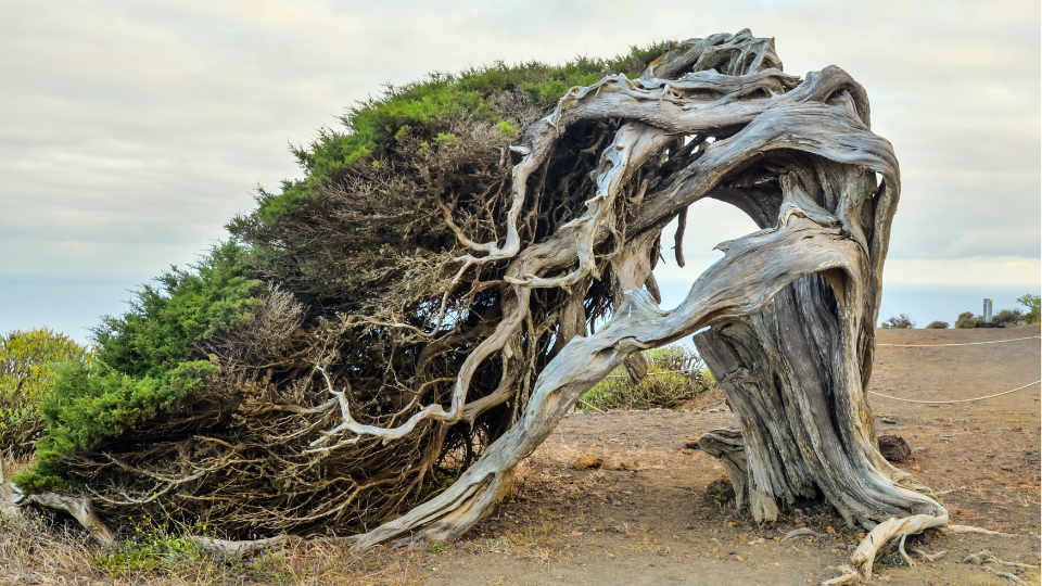 Gnarled Junifer Tree Frontera El Hierro