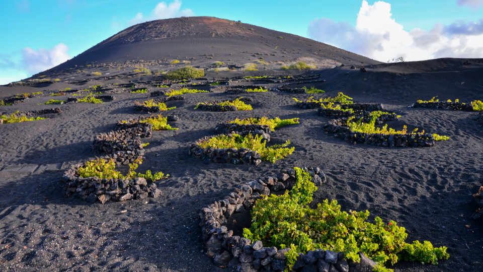 Grapes Growing on Volcanic Soil