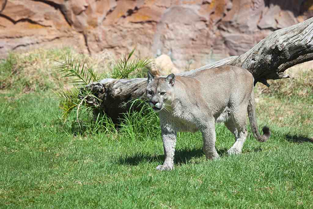 Meet the Resident Puma of Rancho Texas Lanzarote Park